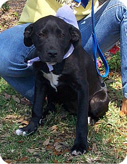 Labrador Retriever/Pit Bull Terrier Mix Dog for adoption in Melrose, Florida - Smudge