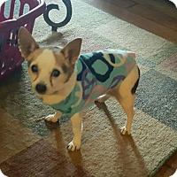 Chihuahua Mix Dog for adoption in Indianapolis, Indiana - Momo