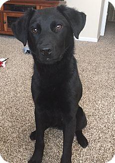 Labrador Retriever/Border Collie Mix Puppy for adoption in Monroe, North Carolina - Miles