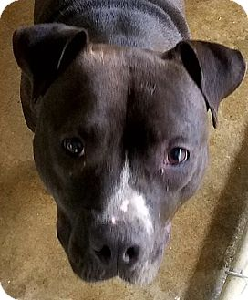 Pit Bull Terrier Mix Dog for adoption in Paducah, Kentucky - Sammy