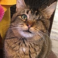 Domestic Shorthair Cat for adoption in Buhl, Idaho - Jazzy