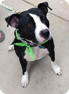 American Pit Bull Terrier Mix Dog for adoption in Dallas, Texas - Lilly II