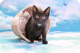 Domestic Shorthair Kitten for adoption in Sterling Heights, Michigan - Snoop