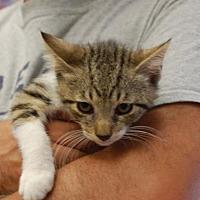 Adopt A Pet :: Nibble - Brooklyn, NY