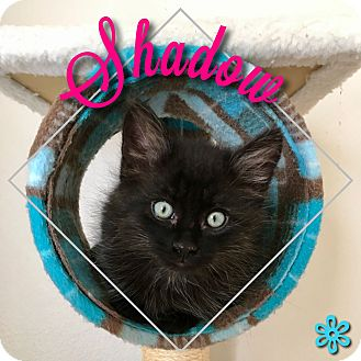 Domestic Mediumhair Kitten for adoption in Meridian, Idaho - Shadow