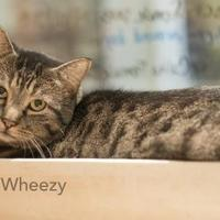 Adopt A Pet :: Wheezy - West Des Moines, IA