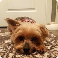 Adopt A Pet :: Bella Wray - Huntsville, AL