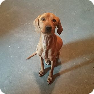 Labrador Retriever/Hound (Unknown Type) Mix Dog for adoption in Minneapolis, Minnesota - Winston