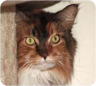 Maine Coon Cat for adoption in El Segundo, California - Delilah