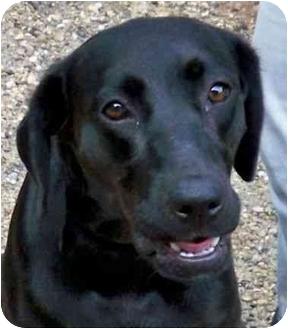 Labrador Retriever Mix Dog for adoption in Norwich, Connecticut - Dinah