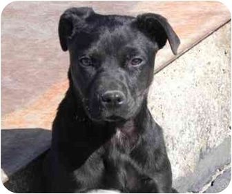 Pit Bull Terrier/Labrador Retriever Mix Puppy for adoption in Salem, New Hampshire - Hannah Montana