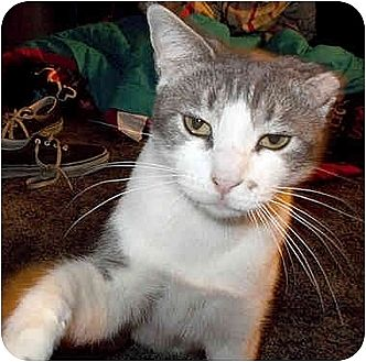 Domestic Shorthair Cat for adoption in Toluca Lake, California - Mona-Monroe