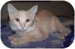 Domestic Shorthair Kitten for adoption in Colorado Springs, Colorado - K-Precious5-Sundance