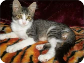 Domestic Mediumhair Kitten for adoption in Modesto, California - Einstein