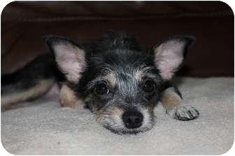 Terrier (Unknown Type, Small) Mix Dog for adoption in Coral Springs, Florida - Isabella/ Bella