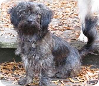 Shih Tzu Mix Dog for adoption in Crystal River, Florida - Tang