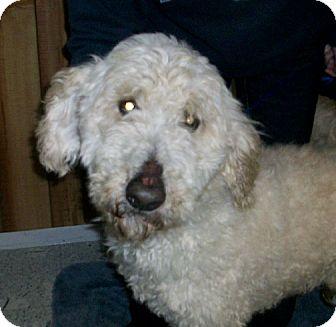 Standard Poodle Dog for adoption in Liberty Center, Ohio - Tello