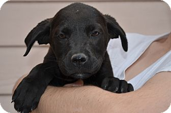 Labrador Retriever Mix Puppy for adoption in Westminster, Colorado - Harvey