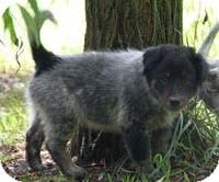 Border Collie/Australian Shepherd Mix Puppy for adoption in Allentown, Pennsylvania - Billabong