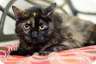 Domestic Shorthair Cat for adoption in Monroe, Georgia - Trixie