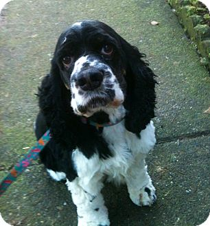 Cocker Spaniel Dog for adoption in Tacoma, Washington - FRIEND