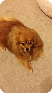 Pomeranian Mix Dog for adoption in Las Vegas, Nevada - Shina