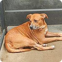 Adopt A Pet :: Chopper - McKinney, TX