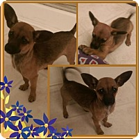 Adopt A Pet :: HEAVENLY - Fort Worth, TX