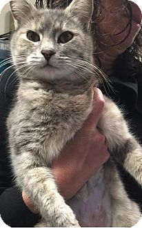 Calico Cat for adoption in New York, New York - Jasmine