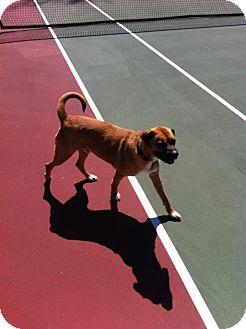 Mastiff/Boxer Mix Dog for adoption in Bardonia, New York - Butch