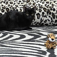 American Shorthair Cat for adoption in Spring Branch, Texas - Harlowe