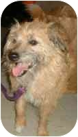 Cairn Terrier Mix Dog for adoption in Lewisville, Texas - Stetson