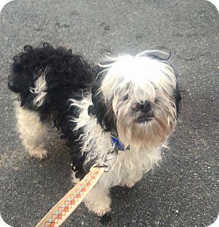 Shih Tzu/Poodle (Miniature) Mix Dog for adoption in Oak Ridge, New Jersey - Spot