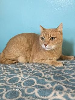 Domestic Shorthair Cat for adoption in Ft. Lauderdale, Florida - Morris