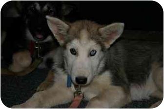 Siberian Husky/Australian Shepherd Mix Puppy for adoption in Tracy, California - Nala