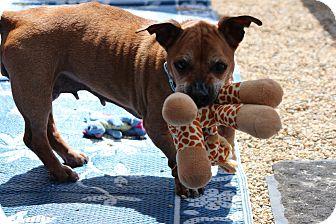 Basset Hound Mix Dog for adoption in Medfield, Massachusetts - Juniper