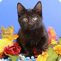 Adopt A Pet :: Ruffles - Sterling Heights, MI