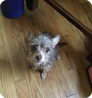 Chihuahua/Yorkie, Yorkshire Terrier Mix Dog for adoption in Berkley, Michigan - Annie