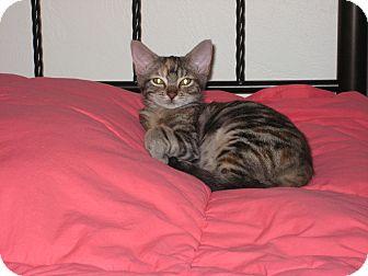 Domestic Shorthair Kitten for adoption in Mims, Florida - Annie