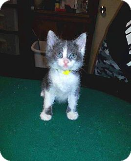 Domestic Longhair Kitten for adoption in Putnam, Connecticut - Fate