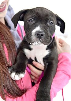 American Pit Bull Terrier Mix Puppy for adoption in Reisterstown, Maryland - Princess
