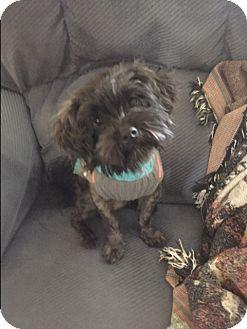 Affenpinscher/Terrier (Unknown Type, Small) Mix Puppy for adoption in West Warwick, Rhode Island - TOBY in Rhode Island
