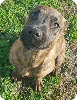 American Pit Bull Terrier/Mixed Breed (Large) Mix Dog for adoption in Havelock, North Carolina - Pantera