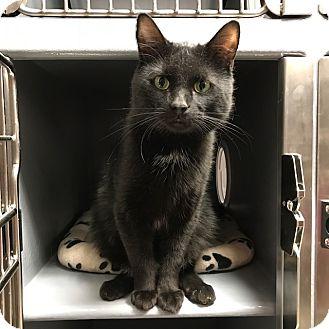 Domestic Shorthair Cat for adoption in Toronto, Ontario - Chloe