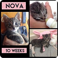 Adopt A Pet :: Nova - Miami Shores, FL