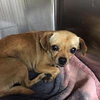 Chihuahua/Pug Mix Dog for adoption in Denver, Colorado - Corrine