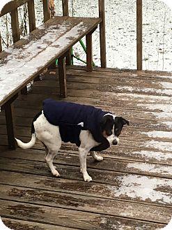 Rat Terrier Dog for adoption in Menomonie, Wisconsin - Sparky