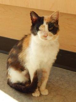 Domestic Shorthair/Domestic Shorthair Mix Cat for adoption in Monroe, Wisconsin - Dahlia