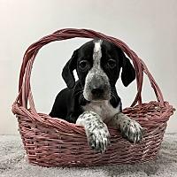 Adopt A Pet :: Giana - Joliet, IL