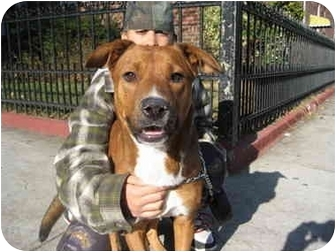 Retriever (Unknown Type)/Collie Mix Dog for adoption in Long Beach, New York - Ozzy